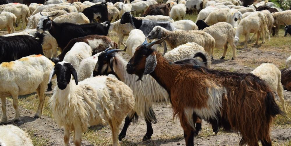 Goats for Sacrifice